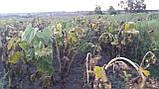 Семена подсолнечника ГУСЛЯР. Высокоурожайный подсолнух, Купить устойчивый к засухе и заразихе гибрид ГУСЛЯР, фото 2