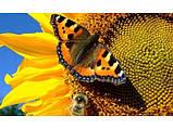 Семена подсолнечника ГУСЛЯР. Высокоурожайный подсолнух, Купить устойчивый к засухе и заразихе гибрид ГУСЛЯР, фото 3