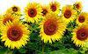Семена подсолнечника ГУСЛЯР. Высокоурожайный подсолнух, Купить устойчивый к засухе и заразихе гибрид ГУСЛЯР, фото 4