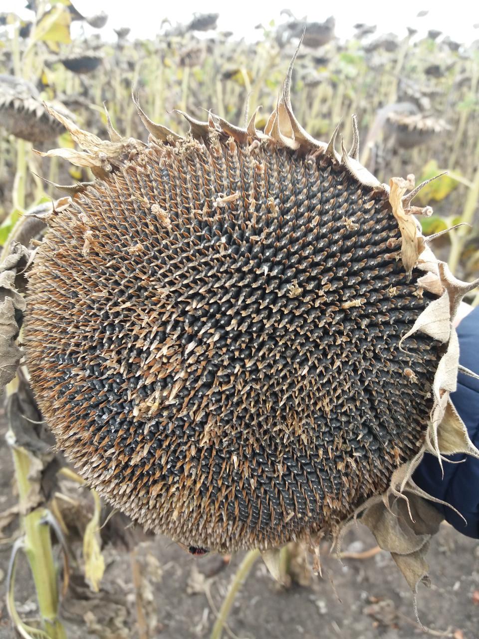 Гибрид подсолнечника СЛАВСОН, ранний, Высокоурожайный и Засухоустойчивый, Стандарт