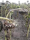 Подсолнечник НСХ 498 под гранстар, Купить устойчивый к засухе и заразихе гибрид для Юга Украины., фото 3