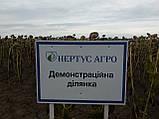 Подсолнечник НСХ 498 под гранстар, Купить устойчивый к засухе и заразихе гибрид для Юга Украины., фото 6