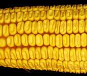 Семена кукурузы СЛОБОЖАНСКИЙ МВ ФАО 260, Отличная влагоотдача, Оригинатор: Институт растениводства