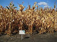 Семена Кукурузы ДН ГАЛАТЕЯ ФАО 260, Высокоурожайный гибрид. Оригинатор: Институт зерновых культур НААН