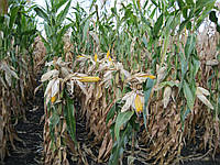 Семена Кукурузы ДН ГЕТЕРА ФАО 420, Высокоурожайный, Устойчив к болезням.  Институт зерновых культур НААН