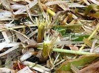 Биодеструктор Стерни для Кукурузы. Био-Минералис разложения растительных остатков на поле в гумус.