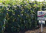 Купить семена подсолнечника под гранстар НСХ 1752, Гибрид подсолнечника НСХ 1752 под Экспресс. Экстра, фото 2
