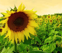 Семена подсолнечника под гранстар НС СУМО 2017, экспресс. А-D, 103 - 107 дней. Евросем / Экстра