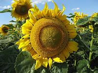 Семена подсолнечника Златсон (Украинская селекция)