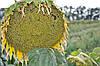 Насіння соняшнику Аракар (Українська селекція) Під Евролайтинг