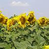 Семена подсолнечника Надежный (Украинская селекция)