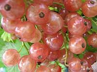 Саджанці рожевої смородини ЧУДОВА (дворічний), раннього терміну дозрівання