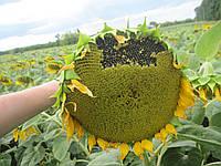 Семена подсолнечника Бането (Агроспецпроект)