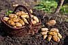 В Украине вывели гибрид самого урожайного картофеля