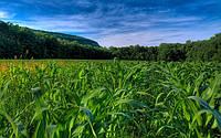 Материал из Википедии — кукуруза
