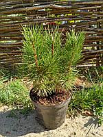 Сосна Горная (30 см)