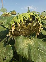 Семена подсолнечника  ДЮРБАН КС  95-102 дней, шесть рас заразихи A-F. Коссад Семанс / Франция 2016г.