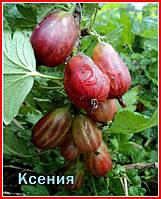 Саженцы крыжовника КСЕНИЯ (двухлетний) раннего срока созревания