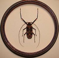 Сувенир - Жук в рамке Acrocinus longimanus f. Оригинальный и неповторимый подарок!