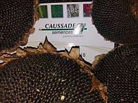 Новый тип Высокоолеинового гибрида ТОСКАНА КС представила компания КОССАД СЕМАНС в 2017 году