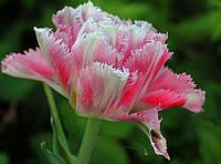 Тюльпан Cool Crystal  3 луковицы
