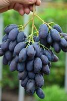 Саженцы винограда Каталония (очень ранний )