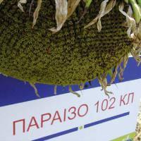 """Семена подсолнечника """"Параизо 102 КЛ"""" (Евро-лайтинг) SAATEN-UNION"""