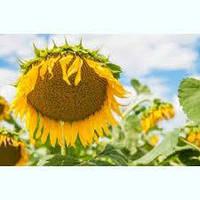 """Насіння соняшнику """"Інеса"""" (SAATEN-UNION)"""