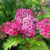 "Спирея японская ""Криспа"" или Spiraea japonica Crispa"