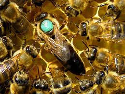 Пчеломатки  украинской степной породы племенные