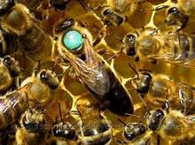 Бджоломатки  української степової породи племінні