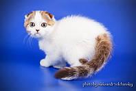 Шотландский эксклюзивный котенок