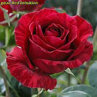 Роза Red Intuition (Ред Интуишен)
