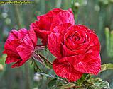 Роза Red Intuition (Ред Интуишен), фото 3