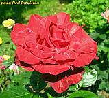 Роза Red Intuition (Ред Интуишен), фото 2