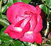 Роза Роз Гожар. (вв). Чайно-гибридная роза.