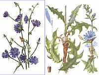 Цикорий обыкновенный трава  (Cichorium)