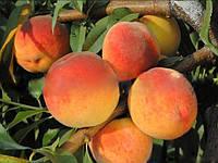 Саженцы персика ВАЙН ГОЛД Т-3 (двухлетний) средне-позднего срока созре