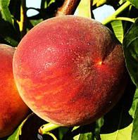 Саженцы персика СЕНРИ (двухлетний) средне-ранний срок созревания