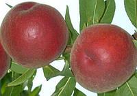 Саженцы персика ШУГАР ТАЙМ (двухлетний) раннего срока созревания