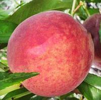 Саженцы персика КОНДОР (двухлетний) раннего срока созревания