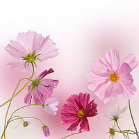 Ромашки розовые и малиновые
