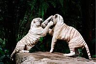 Драка белых тигров