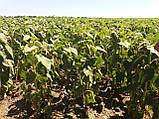 Гибрид подсолнечника ЖАЛОН, Купить засухоустойчивый и урожайный подсолнечник ЖАЛОН в Украине. Олийный. Экстра, фото 2