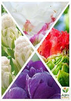 """Смесь тюльпанов """"Необычайная красота"""" 36шт"""