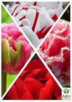 """Смесь тюльпанов """"Легкая влюбленность"""" 36шт"""