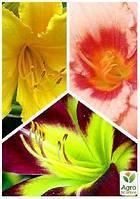 """Смесь лилейников """"Вальс цветов"""" 3шт"""