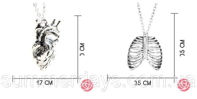 Анатомическое сердце и грудная клетка