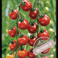 Enza Zaden Сакура F1 (Sakura F1) семена индетерминантного красного томата черри Enza Zaden, оригинальная упаковка (250 семян) АКЦИЯ