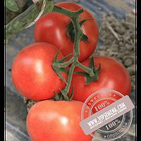 Enza Zaden Буран F1 (Buran F1) семена томата индетерминантного для пленочных теплиц Enza Zaden, оригинальная упаковка (500 семян) АКЦИЯ